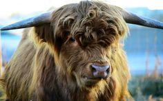 Highland Cow, 4k, Scottish cows
