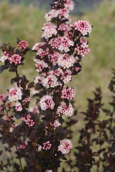 The dark foliage and pink button flowers of Tiny Wine® ninebark are bundled together in a petite, drought-tolerant package, reaching a height of 4-5 feet.