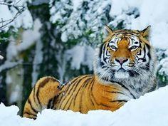 Амурский тирг - просто красавец ☺️ Amur tiger - so beautiful. #миркорма #зоомагазин #зоомагазинмиркорма #вседляживотных #домашниеживотные #домашниепитомцы #домашниелюбимцы #тигр #амурскийтигр #животныеРоссии #красавец #зима2016 #амур #tiger #Pantheratigrisaltaica #tigris #Panthera #altaica #bigcat