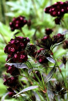 Supremely different to other Sweet Williams with 2cm (3/4 in) fragrant blooms of deepest maroon-chocolate on red stems and mid green foliage which matures to metallic mahogany. An excellent cut flower