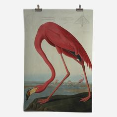 'Greater Flamingo, Phownicopterus Ruber' Epic Poster