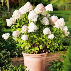 Hydrangea paniculata Plant - Limelight - Suttons Seeds and Plants
