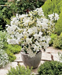 Japanse Azalea 'Hisako' | Trees and Shrubs from Bakker Spalding Garden Company (Evergreen)