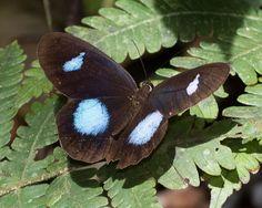 https://flic.kr/p/A84HjB | Pierella hortona, Blue-patched Phantom-Satyr,--2015-Oct-19,-Apuya,-Napo,-Ecuador,-JGlassberg---0366 | Blue-patched Phantom-Satyr, Pierella hortona, Napo, Ecuador butterflies, Sunstreak Tours, Glassberg