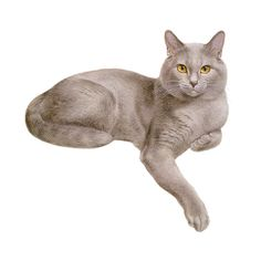 chartreux.png ❤ liked on Polyvore featuring cats, animals, animali and pets