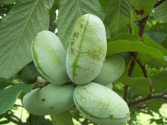 Pawpaw,paw paw, Prairie Banana- Asimina triloba (Improved) from jiovi®-Seeds! Paw Paw Fruit, Paw Paw Tree, Small Plastic Containers, Seed Dispersal, Gardening Zones, Gardening Tips, Weed Control, Organic Matter, Small Trees