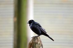 BlueBird! Azulão!