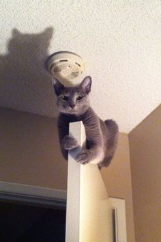 Russian Blue Cats Kittens Click the Photo For More Adorable and Cute Cat Videos and Photos I Love Cats, Crazy Cats, Cool Cats, Funny Cats, Funny Animals, Cute Animals, Animal Gato, Gatos Cats, Cute Cat Gif