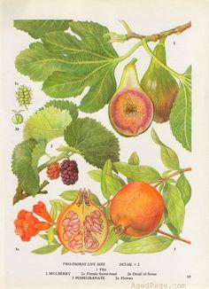 Pomegranate Fruit Print, Botanical Illustration, Vintage Kitchen Decor, Wall Art