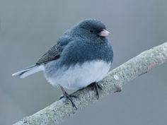 Junco Bird | Junco Bird | 1024 x 768 | Download | Close