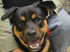 TO BE DESTROYED –  04/11/15 - ZILLA - A1032424 - MANHATTAN, NY -   ***SAFER – NEW HOPE ONLY***Zilla is onlly 10-months old and already he's in a circumstance that will end in his death tomorrow unless a miracle happens for him. Zilla is a Rottweiler weighing a substantial 77-pounds. Poor Zilla is totally out of his comfort zone in the Manhattan shelter. You see he was bred at home and he was never properly socialized. He's lived with a small dog who his previous