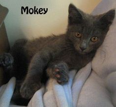 Mika and Mokey here; we wanted to let you know that we are looking for a forever home! We are a gentle pair of kittens and are looking for a nice quiet home and a family to spoil us. We are so thankful to have been rescued and now we are waiting at the adoption center for a family to take us home. We might be a little shy at first but just give us a chance, we promise you will fall love.  If you are interested please call 877-307-2747 or email adopt@whis-purr.org