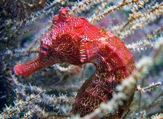 Photo: Peter Liu Photography    The Pacific seahorse, or Hippocampus ingens – like this strikingly colored example – is one of the biggest seahorse species. Pacific seahorses can grow up to 7.5 inches (19 centimeters) long! While this isn't quite as big as the foot-long pot-bellied seahorse, it's still pretty impressive.