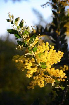 /Bormes les mimosas/ Acacia, Provence, Le Mimosa, Juan Les Pins, Flower Meanings, Canario, Botany, Bloom, Flowers