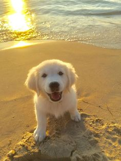 We've got Golden Retriever names for boy dogs and girl dogs that capture the sunny and playful personality of the Golden. 30 Best Dog Names [& The post 30 Best Dog Names For Gorgeous Golden Retrievers [PICTURES appeared first on AR Pet Supplies. Super Cute Puppies, Cute Baby Dogs, Cute Little Puppies, Cute Little Animals, Adorable Puppies, Cute Dogs And Puppies, Boy Dog, Girl And Dog, Corgi Husky