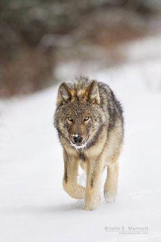 Lobo gris en invierno.