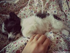 Chipoo- poodle chihuahua puppy <3