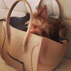 Our yorkie fits in a purse too! :)
