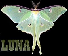 'Luna 1' Fine Art Photography/Digital Art by Mim White This is a pic of a living Luna Moth...probably has since departed.