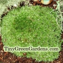 Pretty cushion moss