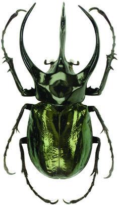 Chalcosoma_atlas_MuseumFurNaturkundeBerlin_Scarabaeidae_Dynastinae_D185.jpg (2490×4282)
