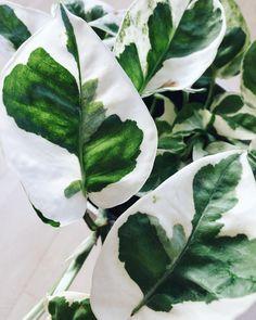 """Anna (@littleandlush) on Instagram: """"Pothos N'Joy you beauty #pothosnjoy #epipremnumnjoy #gullranka"""""""