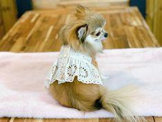 Le Chihuahua, Voici, Fox, Animals, Sleep, Dog, Factors, Environment, Human Height