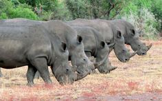 """Graeme Mitchley captured this unusual picture of a group of rhinos's in a row in Kruger National Park, South Africa. """"I sat with this crash of five rhino for at least half an hour. They came closer and closer and managed to get them in a row. With all the poaching going on at the moment it is rare to see five together, let alone get them in a row"""", says the amateur wildlife photographer."""