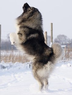 It is a giant and woolly dog that looks very pretty with its fluffy hair. The features of Caucasian Mountain Shepherd Dog or Caucasian Shepherd Dog are very Russian Dog Breeds, Russian Bear Dog, Beautiful Dogs, Animals Beautiful, Cute Animals, Caucasian Shepherd Dog, Huge Dogs, Mastiff Dogs, Mountain Dogs
