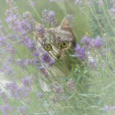 Fine+Art+Photograpy/+Cat/+Lavender/+Dreamy/+by+BlurryBerryBasket,+€18.00