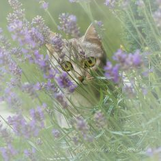 Fine+Art+Photograpy/+Cat/+Lavender/+Dreamy/+by+BlurryBerryBasket,+€18.00