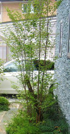 ヒメシャラ Garden Trees, Shade Garden, Terrace, Green, Modern, Flowers, Gardening, Image, Balcony
