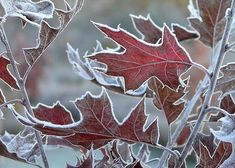 Winter Beauty, Winter Scenes, Jack Frost, Belle Photo, Autumn Leaves, Red Leaves, Winter Wonderland, Nature Photography, Seasons