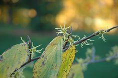 Common Witchhazel (Hamamelis virginiana) at New Garden Landscaping & Nursery