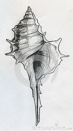 Sea shell sketch