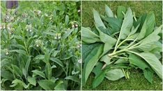 10 Brilliant Reasons You Should Grow Comfrey In Your Garden Healing Herbs, Medicinal Herbs, Herb Garden, Garden Pots, Garden Fun, Garden Ideas, Potager Garden, Garden Inspiration, Organic Gardening