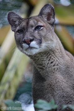 ☀Love those ice blue eyes ~ Puma (by Mark Eastment)