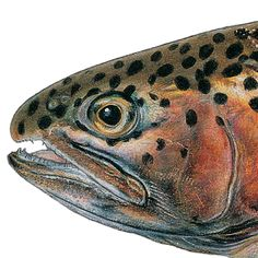 Eagle Lake Rainbow Trout. Illustrated and © by Joseph R. Tomelleri.