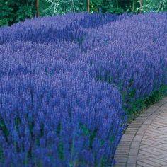 Blue Queen Salvia, Sun Perennial Flowers, Sun Loving Perennials, Sun Plants, Perennials - Spring Hill
