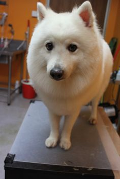The Japanese Spitz lives from 14 to 17 years of age.