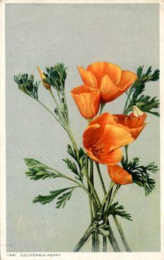California - Poppy.  dpc7881 :: Postcards - Southwest (CA,NV,UT,CO,AZ,NM,HI)