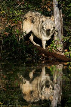 """The wolf is neither man's competitor nor his enemy.  He is a fellow creature with whom the earth must be shared.""    (via wolf watcher)"