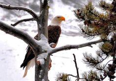 águia de cabeça branca
