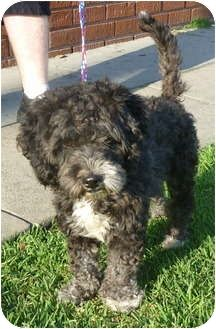 Los Angeles Ca Portuguese Water Dog Meet Bethany A Pet For Adoption In 2020 Portuguese Water Dog Water Dog Dogs