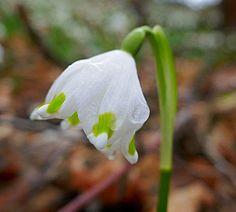 Märzenbecher Blüte
