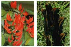 Cowhage, cowage, cowitch: Vinelike,oval leaflets in groups of 3, hairy spikes, dull purple flowers. Seeds are brown, hairy pods. **CAUTION** Contact causes irritation, blindness if in eyes! Tropical areas & the United States.