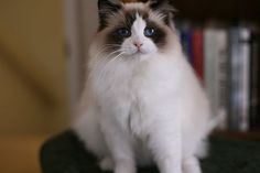 Ragdoll Cats Ragdoll Kittens by Rock Creek Ranch Ragdoll Cattery - Ragdoll Cats Kings & Queens I Love Cats, Cute Cats, Ragdoll Cat Breed, Animals Beautiful, Cute Animals, Cat Whisperer, F2 Savannah Cat, Cattery, Cat Boarding