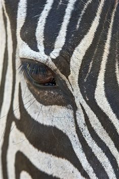 Zebra                                                (© Doug Steakley/Getty Images)