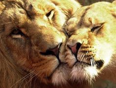 Lion and lioness in a tender moment.