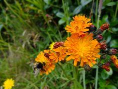 Orange Hawkweed - Pilosella aurantiaca - stroin-vuc yiarg